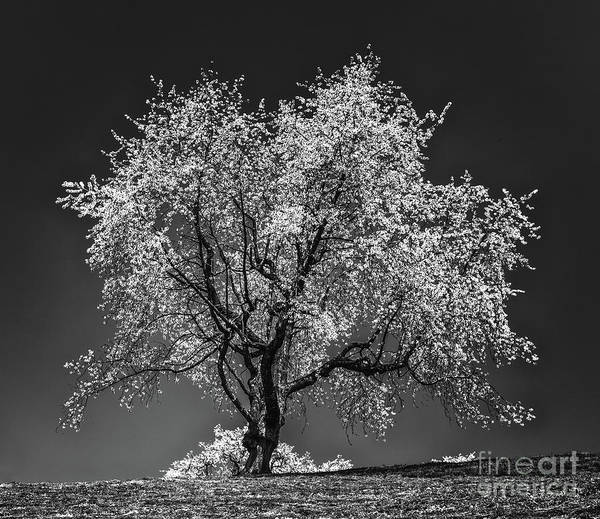 Wall Art - Photograph - The Cherry Tree by DiFigiano Photography