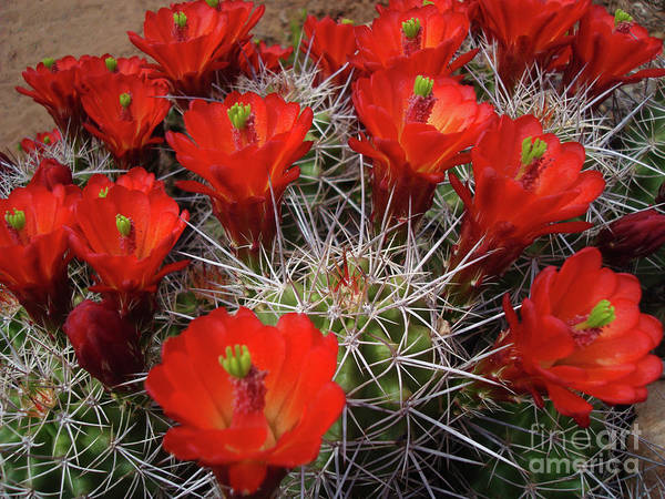 Wall Art - Photograph - The Claret Cup Cactus Bundle by Maili Page