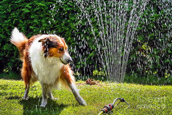 Purebred Wall Art - Photograph - The Collie Is Avoiding The Sprinkler In by Dieterjaeschkephotography