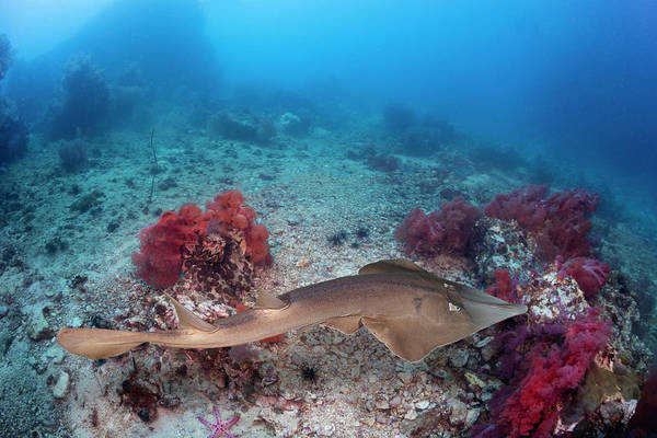 Wall Art - Photograph - The Common Shovelnose Ray  Glaucostegus by Dave Fleetham