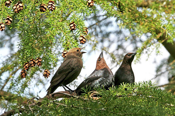 Photograph - The Cowbird Family - So Happy Together by Peggy Collins