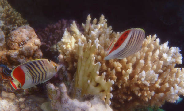 Photograph - The Crown Butterflyfish Of The Red Sea by Johanna Hurmerinta