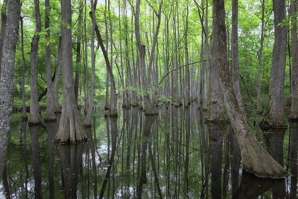 Photograph - The Cypress Swamp by Susan Rissi Tregoning