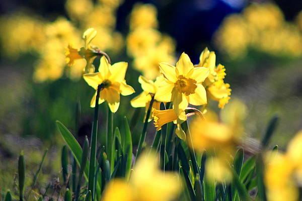 Growing Up Digital Art - The Daffodil Farm by Matt Richardson
