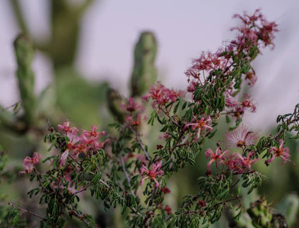 Photograph - The Delicate Side Of The Desert by Margaret Pitcher