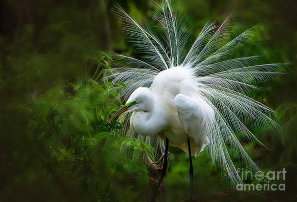 Egret Photograph - The Display by Marvin Spates