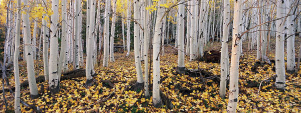 Wall Art - Photograph - The Dixie National Forest With Aspen by Mint Images - David Schultz