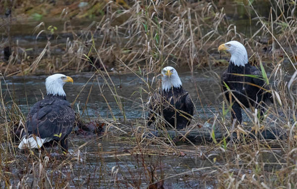 Photograph - The Eagles by Randy Hall