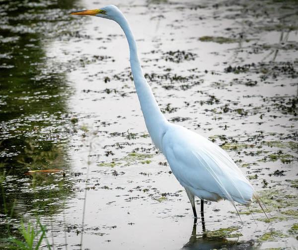 Photograph - The Elegant Egret  by Ricky L Jones
