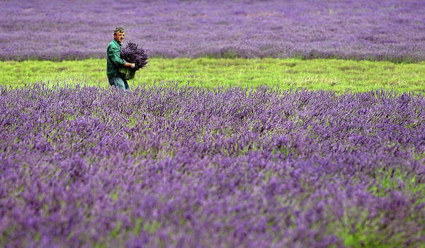 Photograph - The English Lavender Harvest by Dan Kitwood