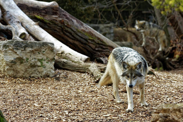 Photograph - The Eye Of The Wolf by Peter Ponzio