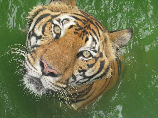 Animal Head Photograph - The Eyes Of A Tiger by Fresh, Amazing Pictures Make People Look!