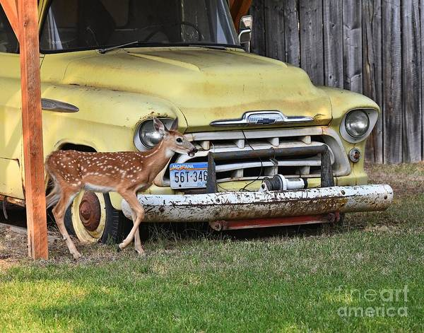 Wall Art - Photograph - The Fawn And The Truck by Steve Brown