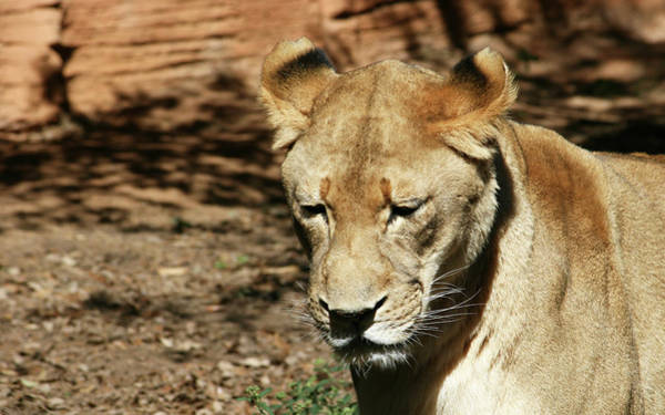 Wall Art - Photograph - The Female Lion by Cathy Harper