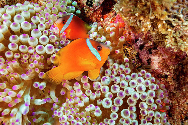 Amphiprion Melanopus Photograph - The Fiji Clownfish  Amphiprion Barberi by Dave Fleetham