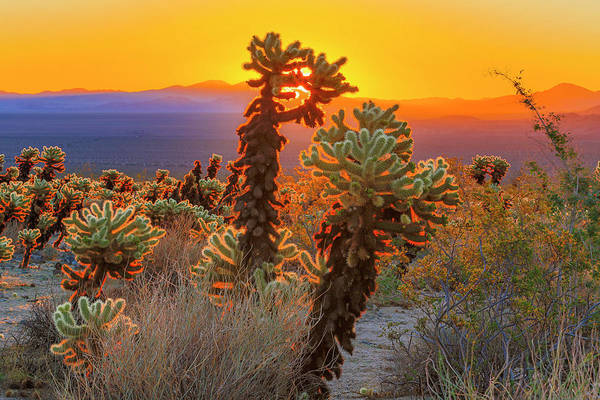 Cylindropuntia Bigelovii Wall Art - Photograph - The Fourth Day by ProPeak Photography