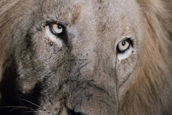 Photograph - The Gaze Of A Lion by Mark Hunter
