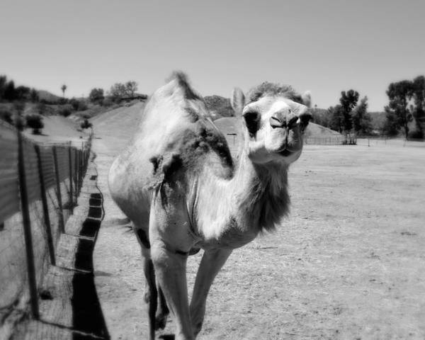 Photograph - The Gentle Soul - Camel by Glenn McCarthy Art and Photography
