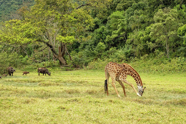 Photograph - The Giraffe And The Cape Buffalo by Kay Brewer