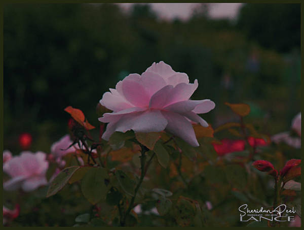 Photograph - The Glowing Rose by Lance Sheridan-Peel