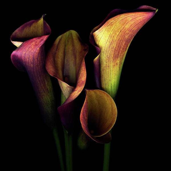 Calla Lilies Photograph - The Golden Curves And Chalices Of Callas by Photograph By Magda Indigo