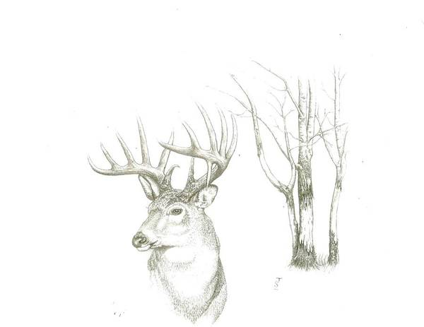 White Tailed Deer Drawing - The Gray Ghost by Jacob Stucki