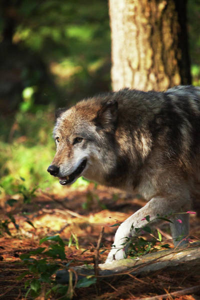 Wall Art - Photograph - The Gray Wolf by Karol Livote