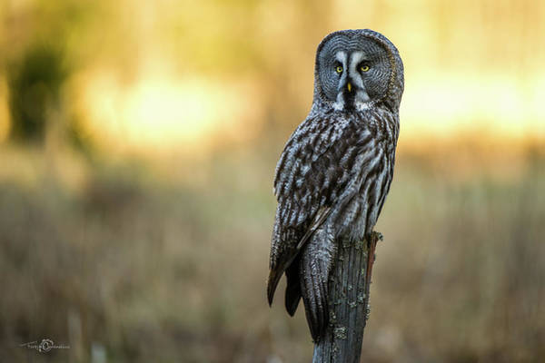 The Great Gray Owl In The Morning Art Print