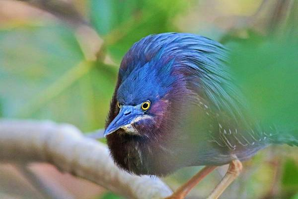 Photograph - The Green Heron At Ding II by Michiale Schneider
