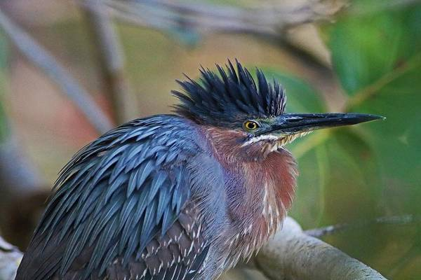 Photograph - The Green Heron At Ding IIi by Michiale Schneider