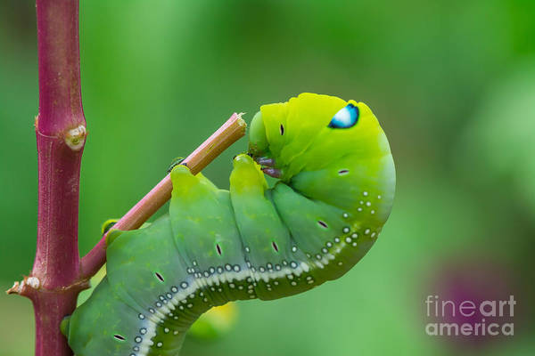 Invertebrate Photograph - The Green Worm Creep On Branch,select by Somrak Jendee