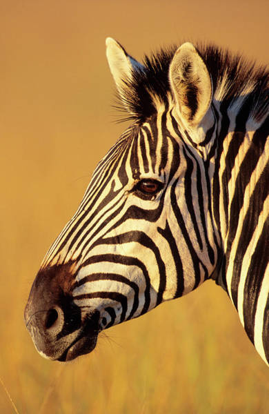 Photograph - The Head Of A Burchells Zebra In by Hphimagelibrary