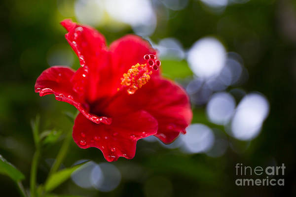 The Hibiscus Flower Close Up Art Print