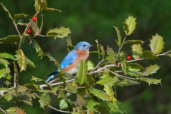 Photograph - The Holly And The Bluebird by Cascade Colors