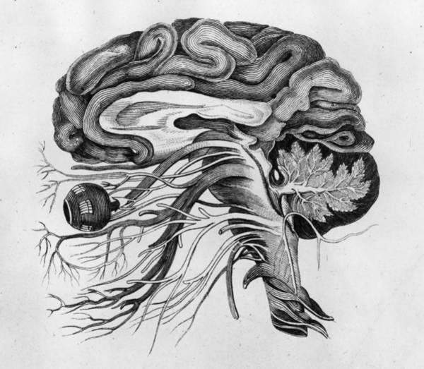 Pencil Drawing Digital Art - The Human Brain by Hulton Archive