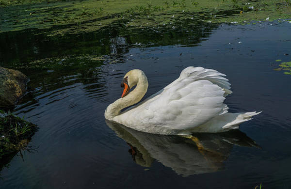 Wall Art - Photograph - The Incredible Papa Swan by Linda Howes