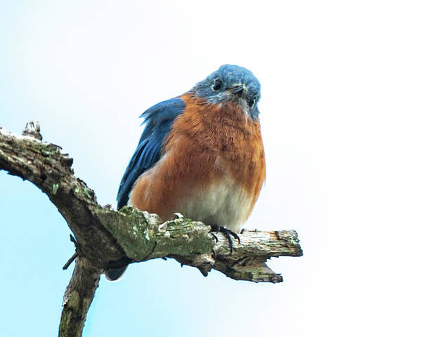 Photograph - The Inquisitive Bluebird by Lara Ellis