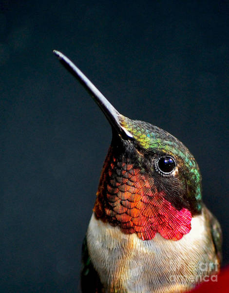 Wall Art - Photograph - The Jeweled Beauty Of A Hummingbird by Holly Miller-pollack
