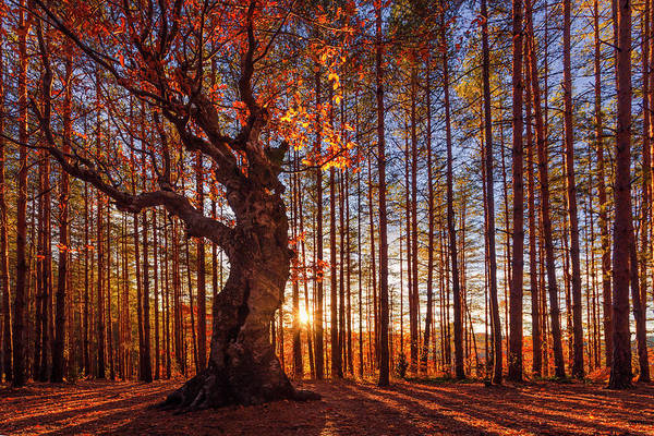 Autumn Wall Art - Photograph - The King Of The Trees by Evgeni Dinev