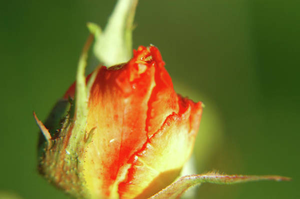 Photograph - The Kissing Rose by Jonny Jelinek