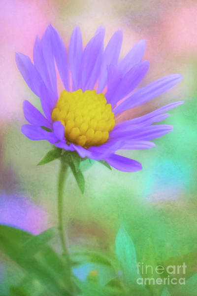 Photograph - The Last Aster Of Autumn by Anita Pollak