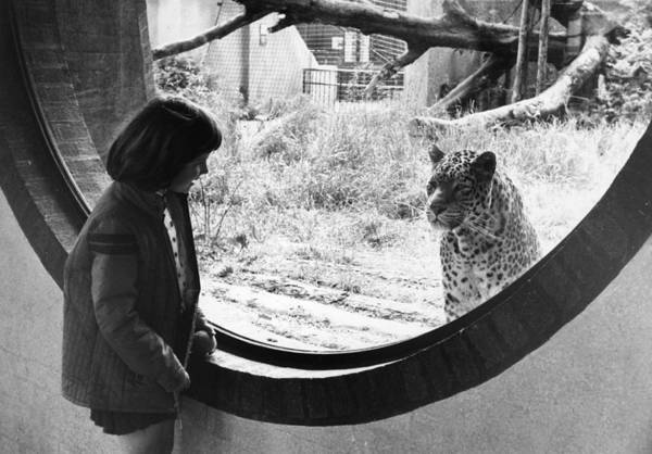 1976 Photograph - The Leopard Cage by Evening Standard