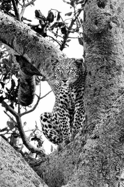 Photograph - The Leopard Sits In Wait In Black And White by Kay Brewer