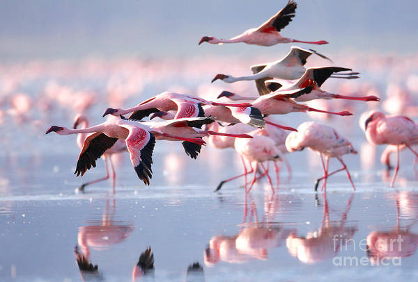 Travel Destinations Wall Art - Photograph - The Lesser Flamingo, Which Is The Main by Worldclassphoto