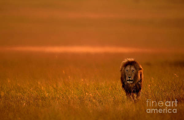 Big Cat Wall Art - Photograph - The Lion King by Varun Aditya