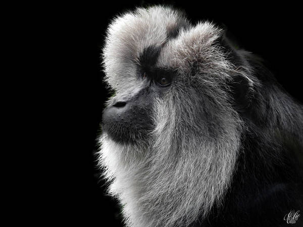 Photograph - The Lion Tailed Macaque by Elie Wolf