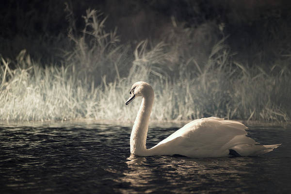 Photograph - The Lone Swan 3 by Brian Hale