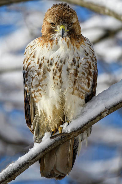 Photograph - The Look, Red Tailed Hawk 1 by Michael Hubley