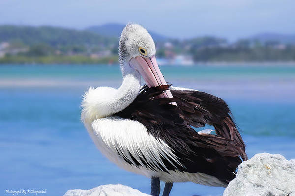 Australian Wildlife Digital Art - The Love Of Pelicans 03 by Kevin Chippindall