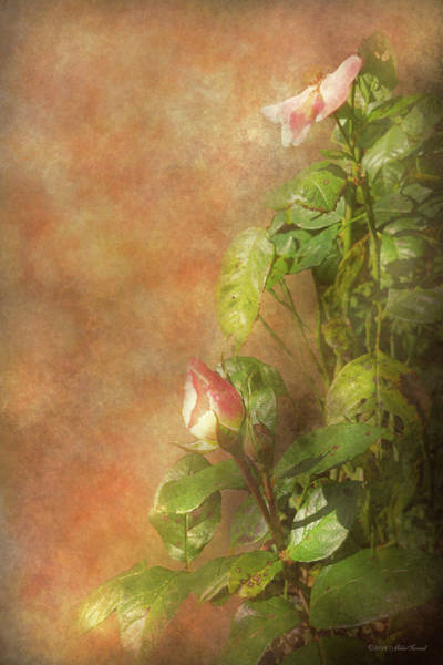 Wall Art - Photograph - The Lovely Rose by Mike Savad - Abbie Shores